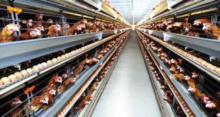 Tuyển nữ làm giúp việc xưởng nuôi gà tại NM Húc Đằng